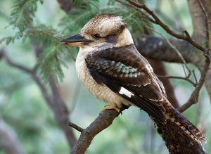 Laughing Kookaburra (source: Wikimedia Commons)